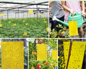 Yellow Greenhouse Sticky Traps Catch Multiple Flying Insect Pests